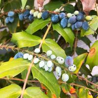ブルーベリーのような実のなる植物、なんという名前ですか?  ご存じの方いらっしゃいましたらよろしくお願いいたします。