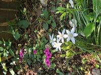 解決済みの質問を再度、質問します。  この花の名前を教えて下さいと質問をあげ、、オオアマナかアマナのお花だと思いますと回答していただき、この花の違いも教えていただきました。  ただ 、ネットで見た、...