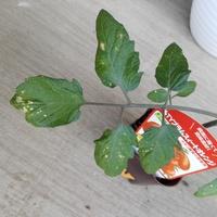 これはモザイク病ですか?  ミニトマトの苗です。 水が足りていないだけかと思いましたが、水やり後も葉が丸まっていて乾燥した感じです。