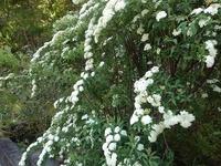 この木の名前が知りたいです。  白い、小さな花の集合体みたいな低木です