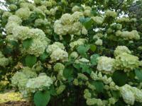2メートル超える木だったのですが、白いアジサイのような花が咲いてました。 アジサイであれば品種を教えて下さい。 アジサイでなければ花の名前を教えて下さい。