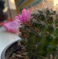 育てていたサボテンくんに花が咲き、心が満たされてきたと思った矢先に、綺麗なピンクのお花に黒い斑点模様ができました、、きっと虫だと思うのですがどう対処していいかわかりません。教えてください!!