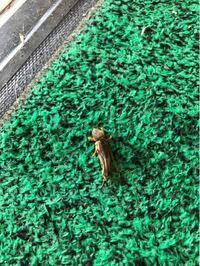 玄関に写真の虫がいました。 見たことがなく、正体がわからず 少し気味が悪いです。 一体何の虫でしょうか。 ご存知の方、お答えいただけると幸いです。 よろしくお願いします!