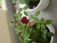ミニバラの花ガラ切りについて この程度まで咲いてしまったら、もう切るべきなのでしょうか? また、つぼみはもっと減らしたほうがよいですか?