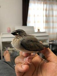 最近、文鳥さんの雛を家族に迎いれたんですが、これはやはり、ノーマル文鳥でしょうか?