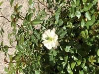 ミニバラ グリーンアイスの花について 冬に切り戻ししたグリーンアイスも暖かくなり花を咲かせました。 しかし花の真ん中に緑のつぼみのようなのがついています。 これは病気でしょうか?