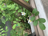 バラの種類だと思うのですが、ずっと花が咲かなくて今日やっと咲きました。 でもバラっぽくなくて。 どなたか花の名前わかる方いらっしゃいませんか?