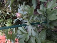 牡丹の根から芍薬が生えてくるのはわかるのですが、芍薬として買った球根(と言うか棒)から2年目にして1本だけ牡丹が生えてきました 元の芍薬からは葉の形も蕾の形も咲いた花もまるで違います これはこれとして...
