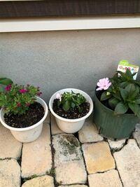 摘芯をせずに植えてしまいました ミリオンベルとカリフォルニアローズ 花が咲いてますが今からでも大きくする事はできますか?