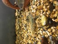 この写真のヨシノボリは、どの種類でしょうか? 葛飾区の水元公園で捕獲しました。 クロヨシノボリと考えています。