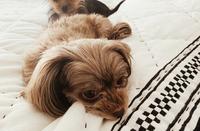 倖田來未さんが飼っている愛犬2匹のうち、シエルちゃんは犬種分かれば、教えてほしいです。