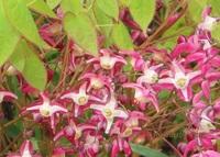 この花の名前教えてください。 イカリソウににていますが