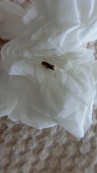 家の中でこんな虫を一匹見つけました。ゴキブリの赤ちゃんでしょうか。それとも他の虫でしょうか。何年も住んでて初めて見たので怖いです。