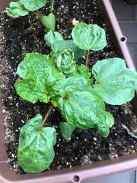オクラを育てているのですが、葉っぱがシワシワになってしまってます。これは病気でしょうか? また病気の場合は、どのようにしたらいいでしょうか?