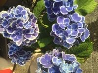 鉢植えで買った紫陽花の葉が黒くなってしまいました。 対処法を教えてください。 よろしくお願いします。