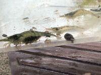 子供が川でエビを獲ってきたのですが、何てゆう名前でしょうか? お家で飼っているメダカ の水槽に一緒に入れて飼って大丈夫ですか?