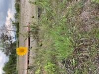 昨日家の近くの土手の周りを散歩中に見つけた花なのですが、何という花でしょうか。 遠目にはたんぽぽに似ているのですが、近づくと、もっと花は大きく、茎や葉っぱも違う様です。 春菊の花に も似てますか、葉...
