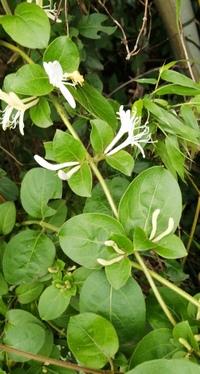 こちらのつる性の植物の名前をお教え下さい 宜しくお願いします
