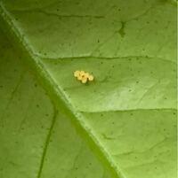 昆虫、蝶々や蛾類に詳しい方教えてくださいm(_ _)m みかんの木の葉っぱに見たことのない卵がありました。 一般的なアゲハ類は丸い卵だと思うのですが、 こちらは少し黄色くて筒型の様です。 大きさは1ミリくらい...