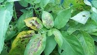 どうも育てていたジャガイモが病気になってしまったようです。なんとか治したいのですが、どうにかなりますでしょうか。写真はそのジャガイモの葉っぱです。