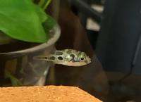 アベニーパファーを1匹で8リットル入る水槽で飼っており、水換えは2週間に1度ほど3分の1〜半分くらいをかえています。 4月16日から飼い始め2,3日すると餌(冷凍赤虫)を食べてくれていたの ですが3日ほど前...