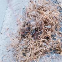 スズメの巣が落ちています。 雛たち(4羽)はまだ生きていますが、ピーピー鳴いたりはしていないので弱っているかもしれません。  どうしたらいいんでしょうか?また、動物病院つれていったらお金請求されますか?
