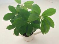 ダイソーで買った小さな観葉植物ですが、どんどん成長してます。 これは、なんていう種類の観葉植物でしょうか?  窓際に置いていて、成長がすごいのですが これ以上大きくなって、大きな鉢に植え替えると 窓際に...