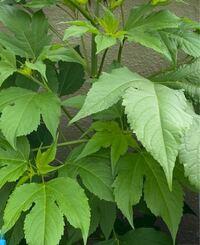 この植物がプランターで成長しています。植えた覚えはありません。何の植物かご存知の方教えてください。一通り検索しましたが分かりませんでした。宜しくお願い致します。
