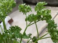 家庭菜園のパセリにいました。 この幼虫はなんの幼虫でしょうか?わかる方いたら教えてください!!
