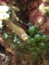 海水水槽にライブロックを入れています。ライブロックについてきた、この生き物は何という名前でしょうか?よろしくお願いします。