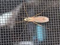 虫に詳しい方、この虫が何という虫か教えて下さい。  5歳の息子が虫に興味持ち身近にいる虫の名前を良く聞かれます。 興味を持っている事に対してはなるべく答えてあげたいと思っております のでよろしくお願...