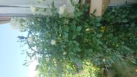ツルアイスバーグの剪定についてお伺いします。 写メは去年の1月に地植えしたアイスバーグです。 オベリスクの高さは2m弱くらいです。 既に今はほとんど花摘しましたが(写メは今年の咲き始めくらいです)1年でこれだけ大きく成長しました。  アイスバーグはベイサルシュートがなかなか出にくいとききます。 できれば、このまま枝を伸ばして後ろの壁面から2階まで誘引したいと思います。 今回、元気なサイドシュ...
