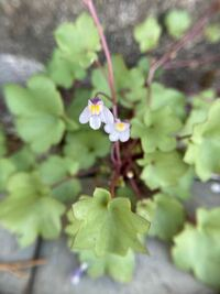 この花はなんですか?サギゴケやトキワハゼとは葉の形が違うので。。