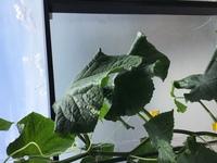 きゅうり 葉のしおれ(プランター菜園)  いつもアドバイスいただきありがとうございます。 大きいプランターできゅうりを2株栽培しています。 片側の株は葉に張りがあり元気そのものなのですが、隣の株は少し葉...