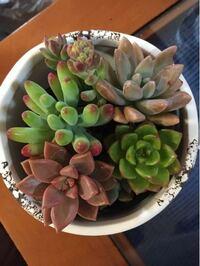 ホームセンターで多肉植物の寄せ植えを買いました。 種類と育て方を教えていただけないでしょうか?