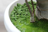 コケの種類について  自宅(千葉県)の「カネのなる木」の植木鉢に、よく見かけるじゅうたんの様なコケに、 小さな葉っぱのあるコケのようなものが生えてきました。 特に問題はないのですが、ふと、コケの名前...