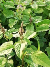 """運動場の周辺部に咲いていました。写真の上部に見える""""ホトケノザ""""の回りに咲いている茶色の花です。名前を教えてください。"""