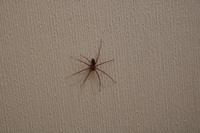 トイレで見かけたこの蜘蛛の名前を教えてください。  Googleレンズで検索すると「ドクイトグモ」と出て不安感でいっぱいです。 逃がした方がいいのか、放置しててよいものかお教えいただける と嬉しいです。
