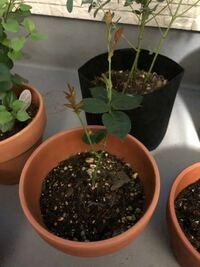 バラの挿木について 今年の3月末に初根したものを鉢上げしました。 新芽などは出て来ているのですが、ぐんぐん成長する感じではないです。 挿し木は成長が遅いのでしょうか  このバラが順調に育ったとして、開花はいつ頃を見込めるか教えて下さい。 品種は、ブルーバユーです。