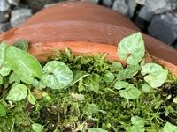 盆栽の鉢に生えてくる、この草の名前を教えて下さい。 同じ種類なのか?斑入りの葉と、普通の葉の物がある様です。 よろしくお願い致します。