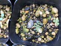 ミモザの種を植えて発芽しました。 ですが、とても貧弱で数日すると枯れてしまいます。何が悪いのでしょうか? 種からは難しいですか?