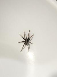 蜘蛛の種類を教えてください。 よく家に出てくる蜘蛛なのですが、うちは猫を飼ってるのでオモチャにされると可哀想なので外に逃がしますが、しばらくするとまた家にいます。  チャスジハエト リにしたら大きい...