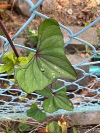 この葉っぱってなんの植物の葉なんでしょうか? ツル科の植物とはわかるんですが、、、