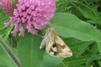 日中に 花の蜜を吸っているようですが これはキンイロキリガでしょうかか