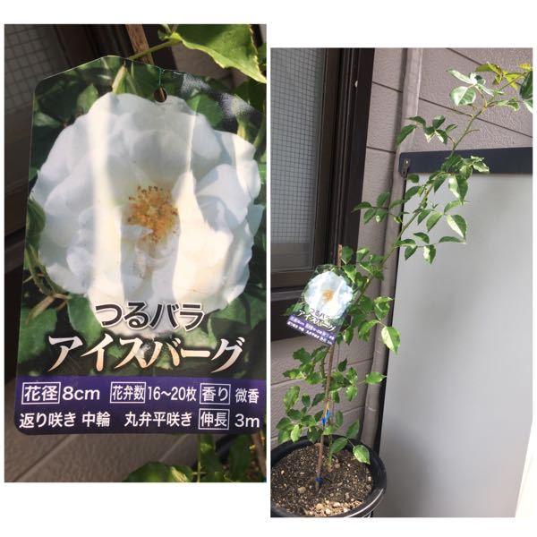 バラ苗を購入し、 とりあえずふたまわり大きい鉢に植え替えました。 この先はどんなお世話をすれば 元気に育ちますか? 自分は生まれて初めてのバラです。 よろしくお願いします。