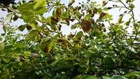 つるバラの葉が茶色くなって広がってくるようです、写真を添付しましたが、なんの病害虫か?、どの様な薬剤を散布すればよいのか?。どなたか教えてください。