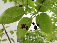 ジューンベリーの実が、熟す前にカチカチになってしまいました。  庭のジューンベリーの実を食べるのを毎年楽しみにしているのですが、今年のジューンベリーの実は例年と違っていました。 なり始めの3日間ぐら...