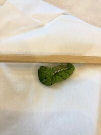 至急お願いします( ; ; ) 昨日ナミアゲハの終齢幼虫が割り箸の上で蛹になる準備を始めました。  ところが今朝、体を支えている糸がかなり伸びていて、前蛹の体に食い込んでいる様子でした。  そこで、YouTubeで...