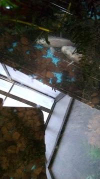 錦鯉のプラ舟飼育について。120L容器に20cm弱錦鯉4匹飼育しています。赤玉土にアナカリスでフィルター無し、エアレーション無しでやっていました。(叩かれるのは覚悟しています)流石にフィル ターを使おうと思...