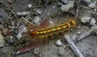 この毛虫は成虫になるとどんな虫に成るのですか?